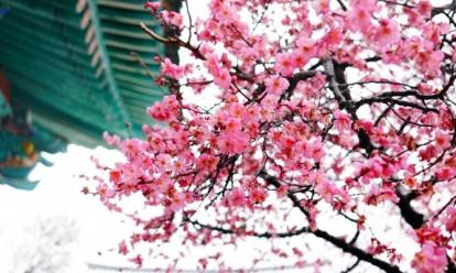 Самые популярные и красивые места цветения сакуры (адреса)